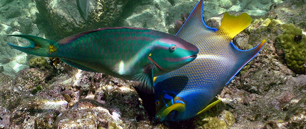 parrotfish_d