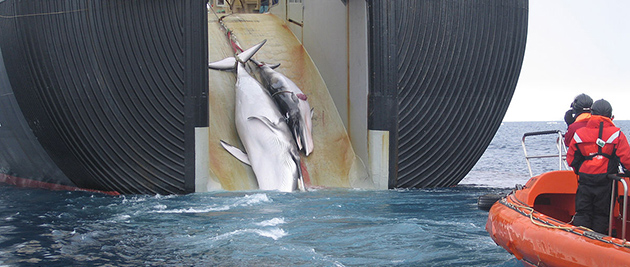 """""""Japan Factory Ship Nisshin Maru Whaling Mother and Calf"""" by Customs and Border Protection Service, Commonwealth of Australia."""
